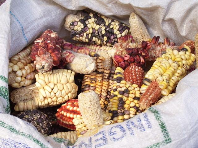 kukuřice v plastovém pytli