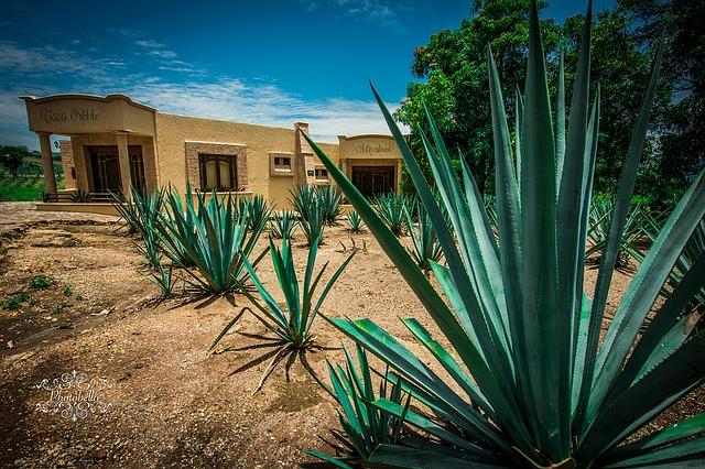 rostliny agáve v Mexiku